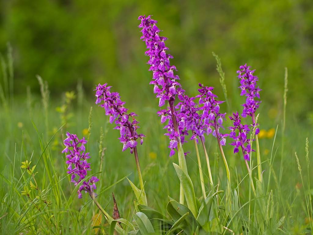 Les pelouses à orchidées
