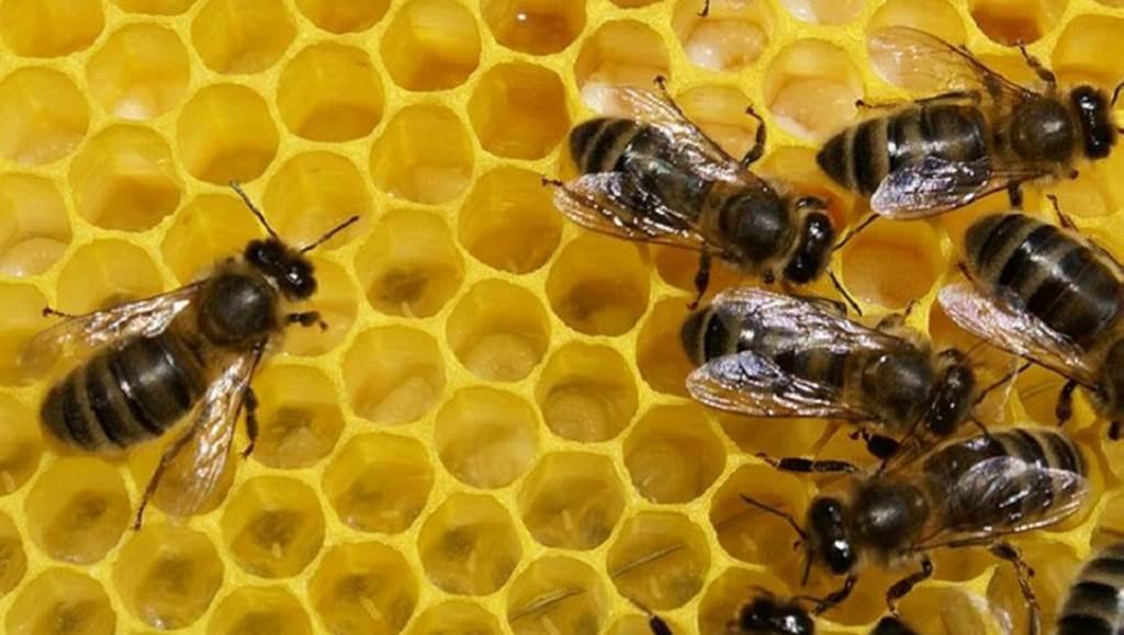 Où sont passées les abeilles ?