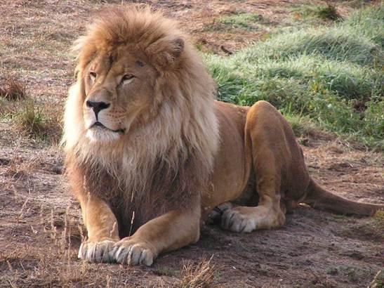 Zoo  pont scoff - Lion © Zoo  pont scoff - Lion