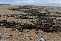 Découverte de l'estran et des algues - St Pierre Quiberon