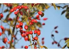 Atelier d'herboristerie sur les bienfaits des baies et des fruits sauvages