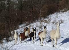 La Ferme des Lamas - En hiver