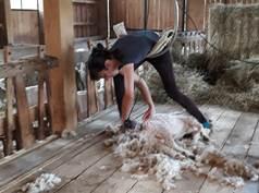 Tonte des chèvres mohair à la Ferme des Moulis - Mohair Pyrénées