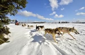 Alaskan du nord (Chien de Traineau)