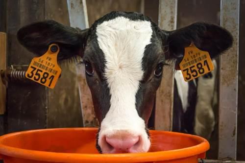 On va voir les vaches ?