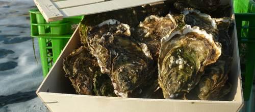 La Belle d'Ilur, huîtres du Golfe