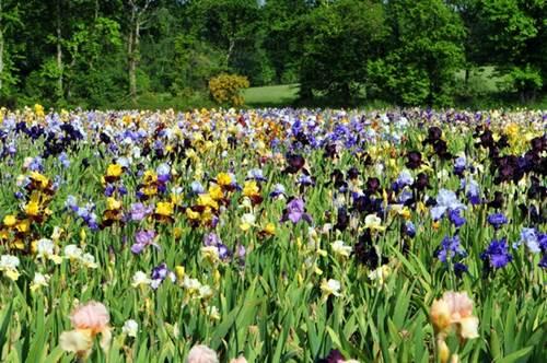 Jardin d'Iris