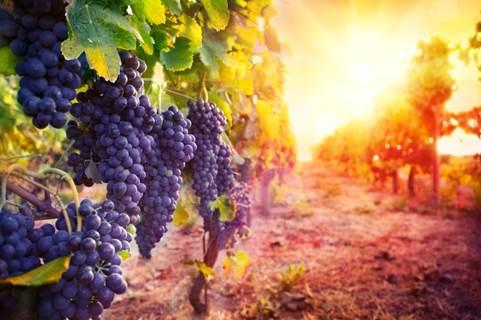 Les vignes réboussières