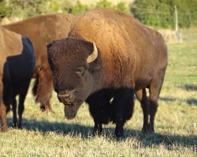 Randals Bison