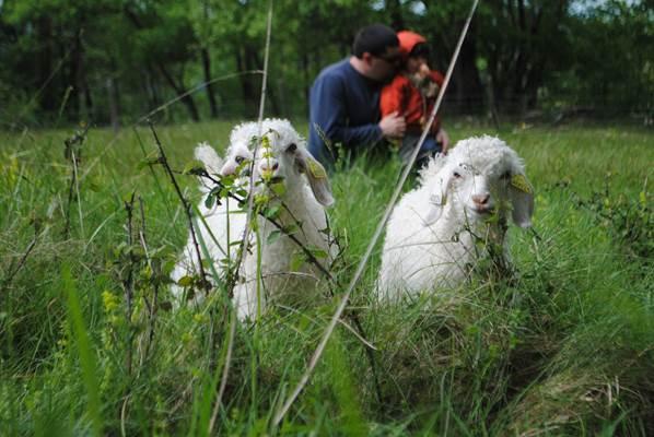 Les chèvres de la Ferme des Moulis