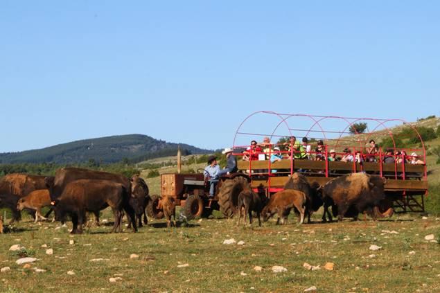 La visite du troupeau de bisons