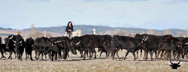 Manade Devaux troupeau de taureaux de Camargue
