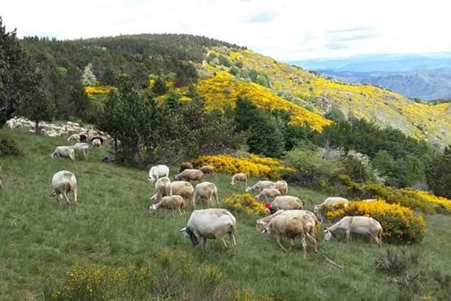 troupeau de moutons en transhumance