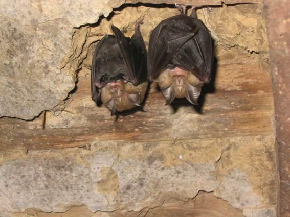 Chauves-souris dans les Gorges du gardon