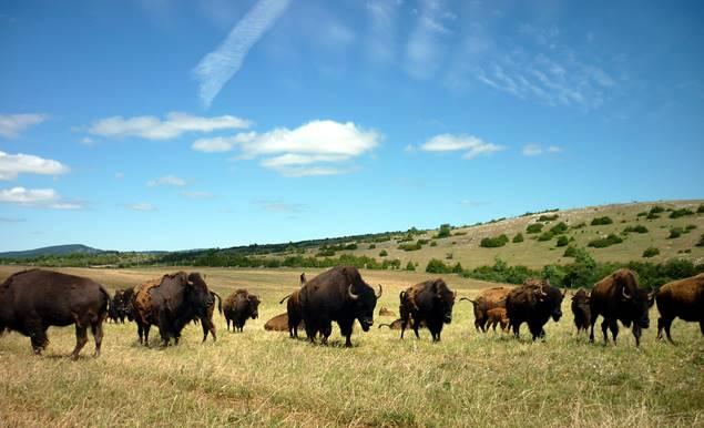 Le troupeau de bisons