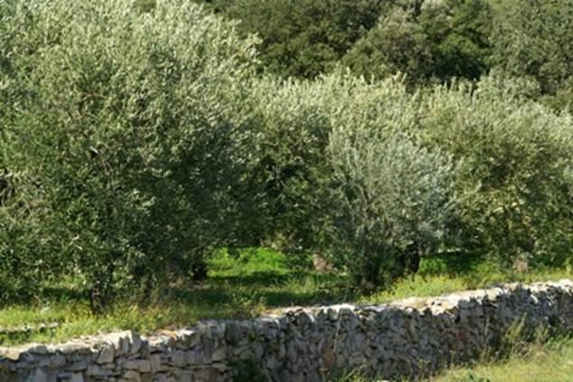 Plantes de garrigue