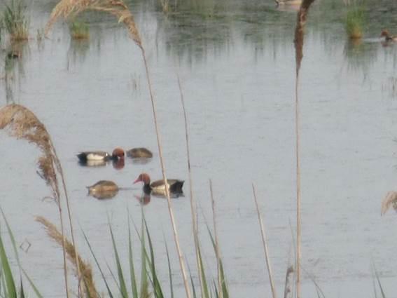 Canards en Camargue