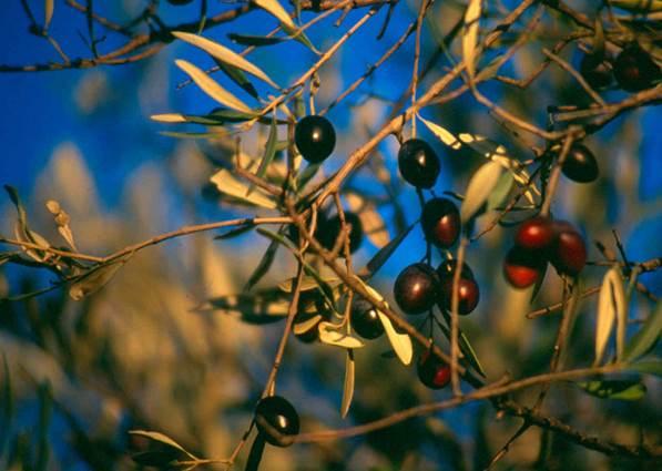 olives sur l'arbre
