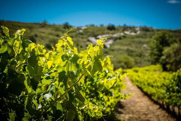Vigne entouré de garrigues sur un terroir caillouteux
