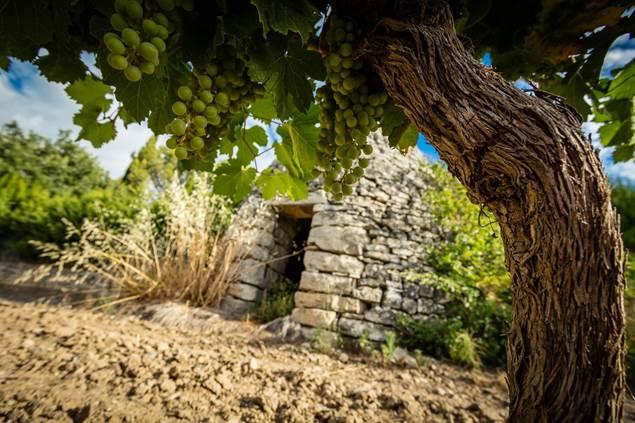 Capitelle et cep de vigne