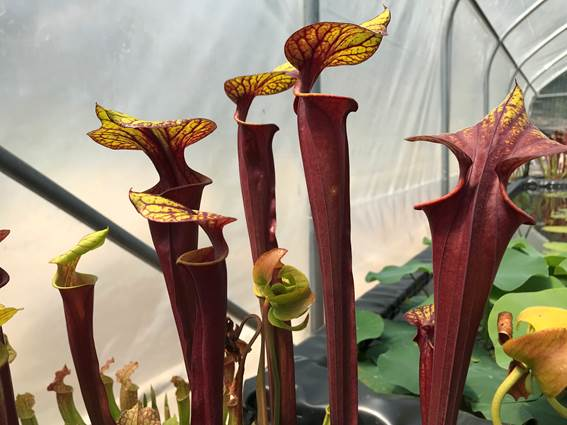 concoules-titus-jardin-nympheas