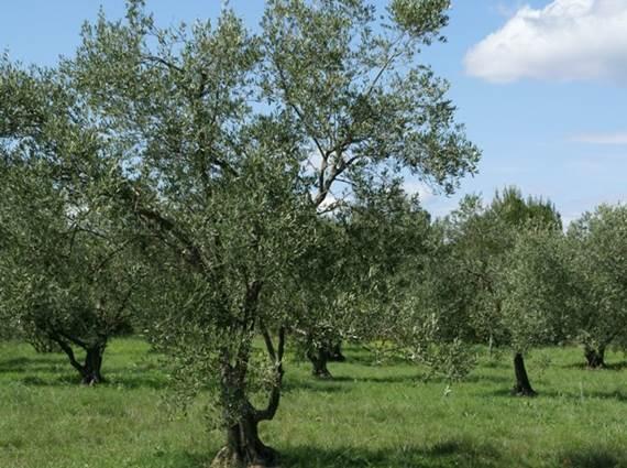 olivette-Escattes