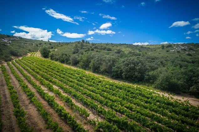 Vigne en bordure des Gorges du Gardon, entourée de garrigues