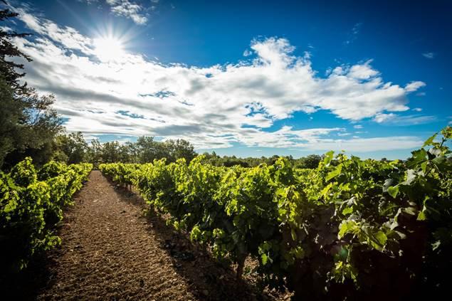 Au cœur des rangs de vignes