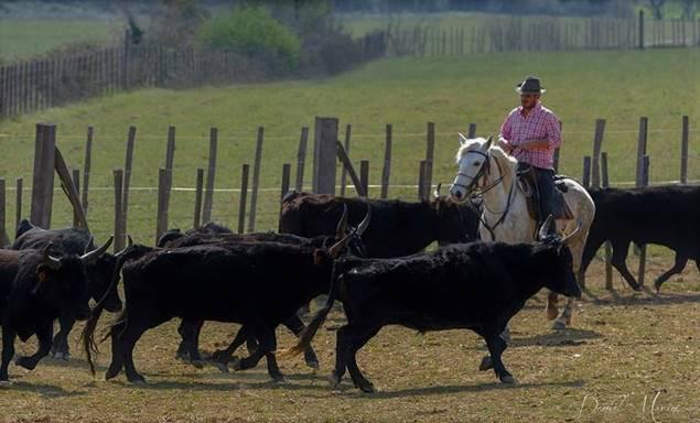 Manade Devaux gardian et troupeau de taureaux de Camargues