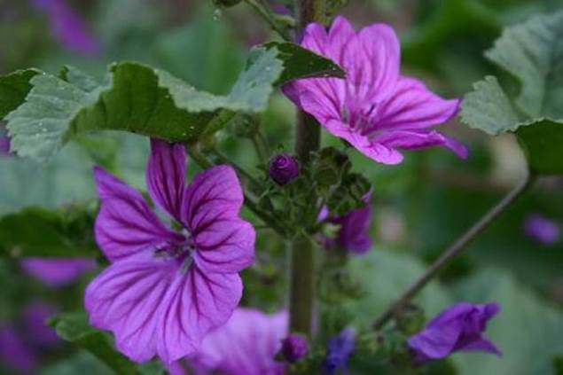 mauve-plante-infuse