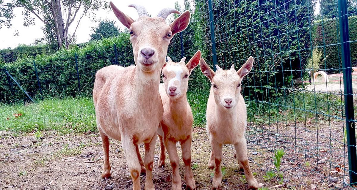 Chèvres de la mini ferme