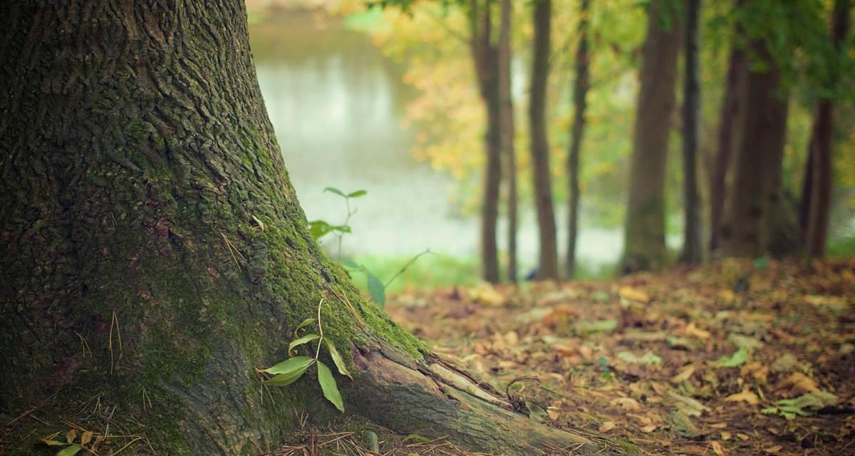 Pousse d'arbre