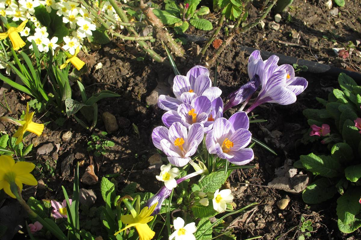 Le printemps arrive avec les crocus, narcisses, primevères ...