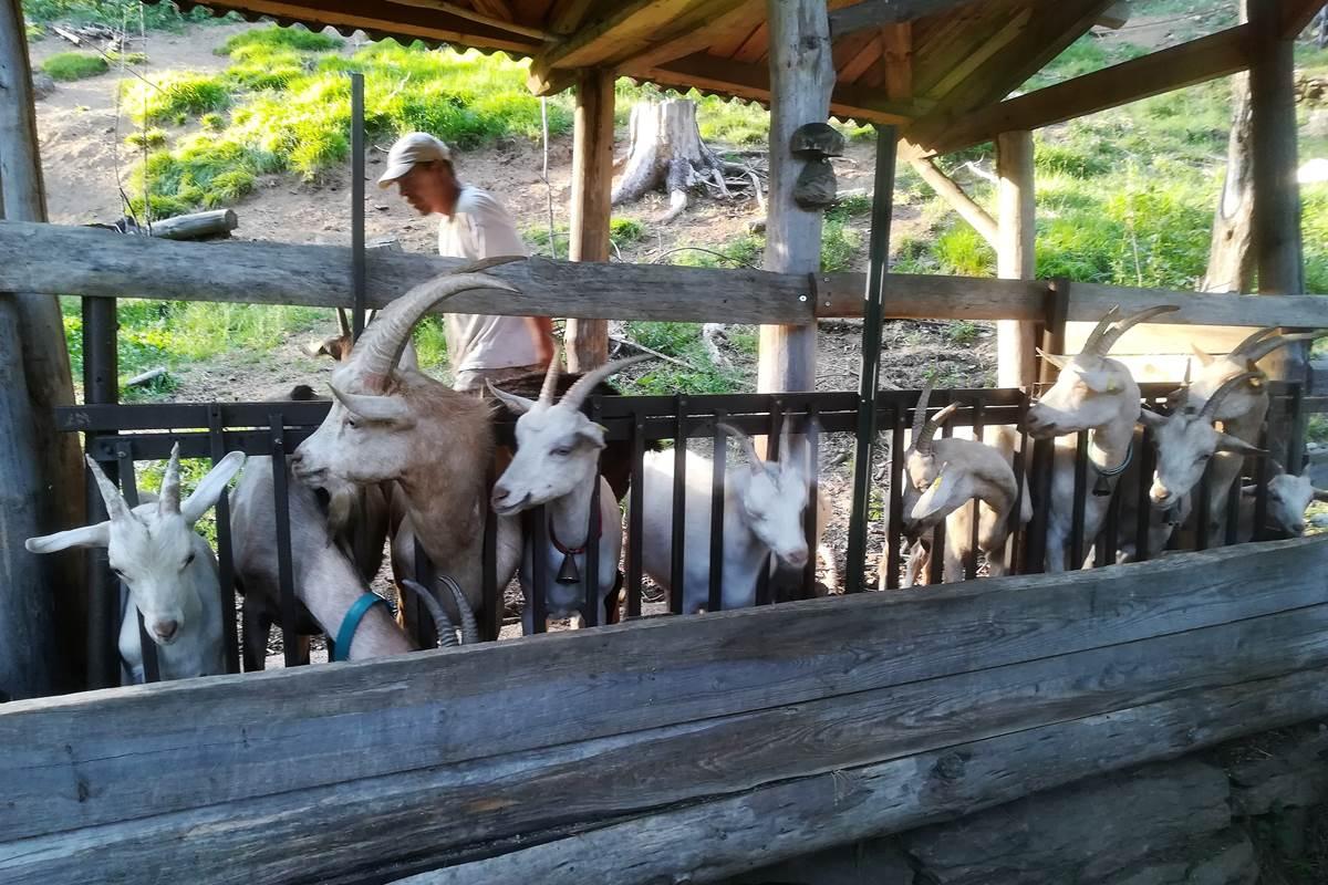 asinerie-badjane-notre-troupeau-de-chèvres-dans-leur-domaine (1)