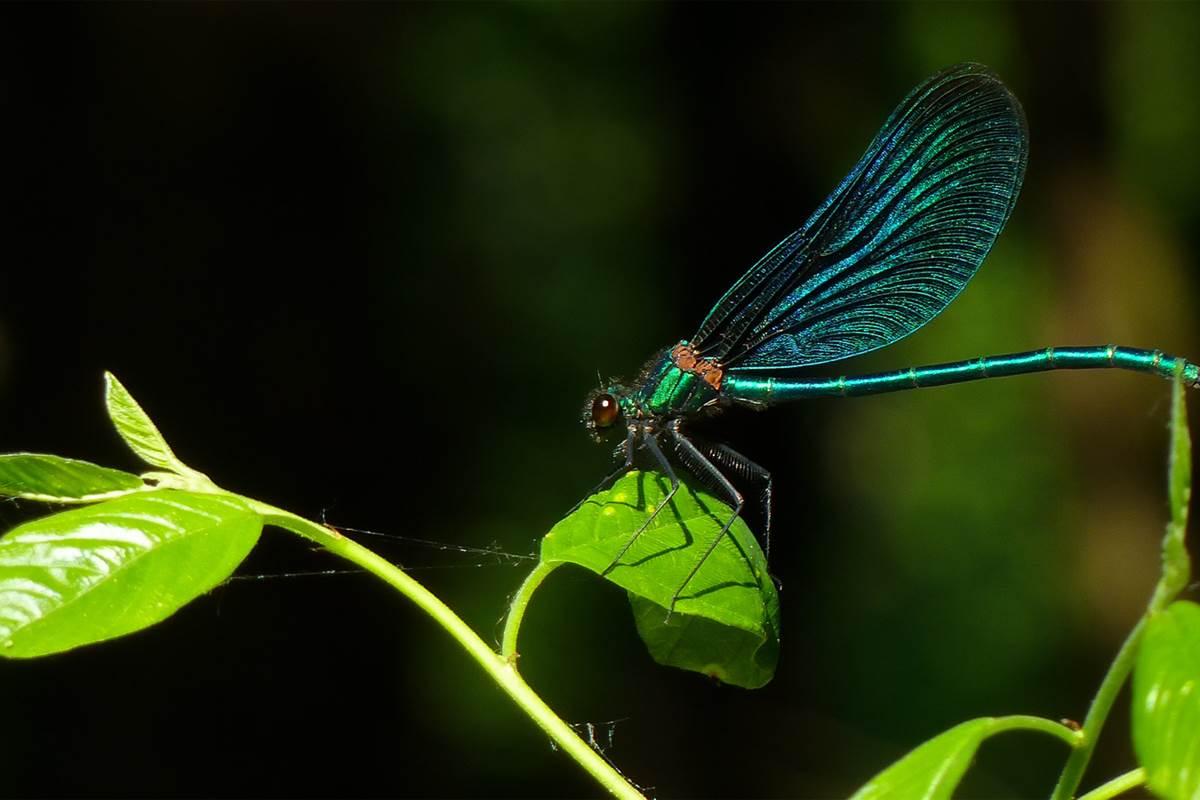 Calopteryx_Virgo_(64214375)