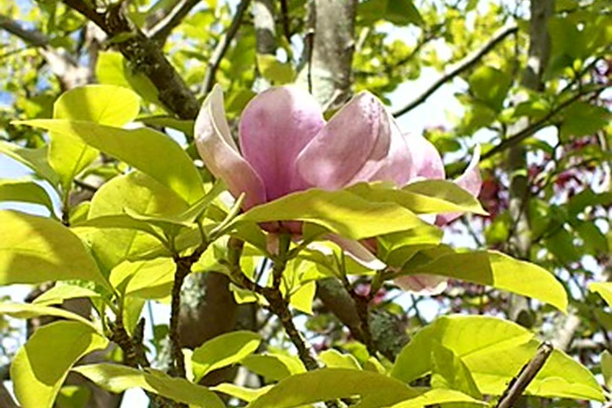Le magnolia centenaire de la Maison Bizienne