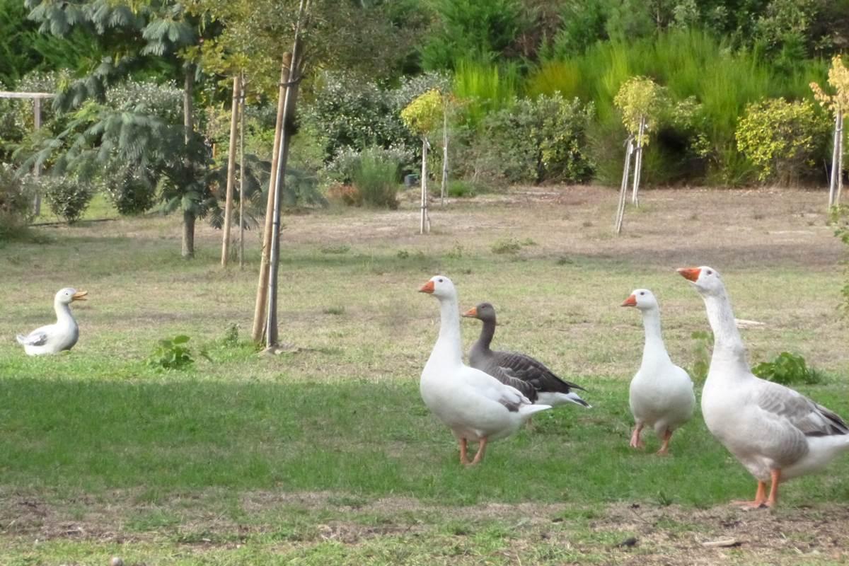 Canards et oies des Landes