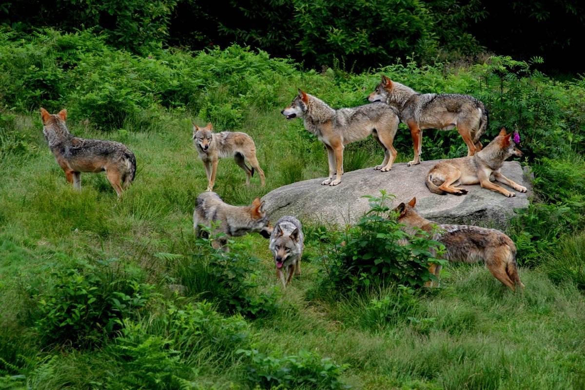 loups de chbrieres