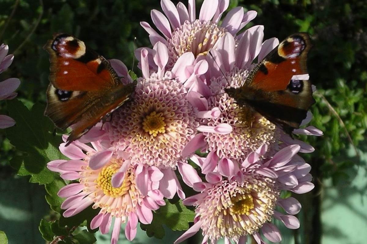 fleurs-papillons dordogne Feuillantines