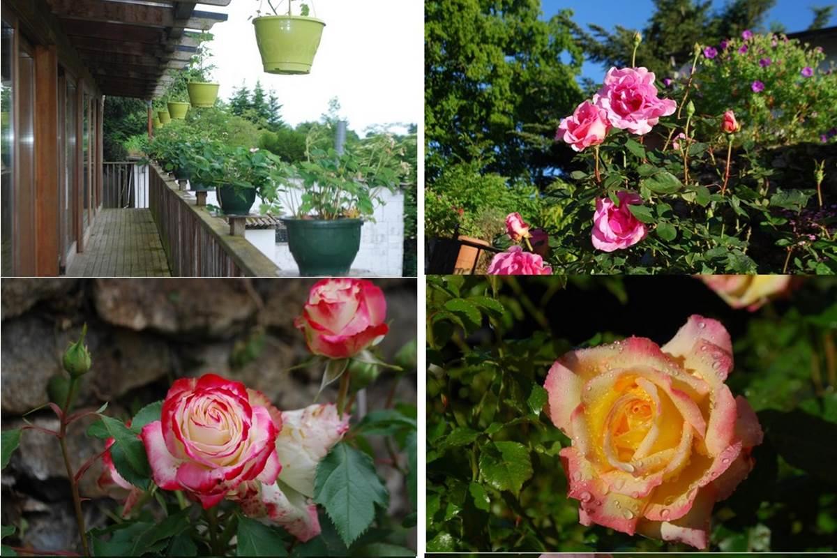mois de juin un bouquet de roses au Ranch des Lacs 87120