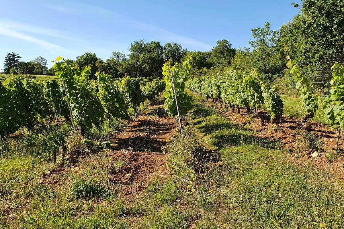 Vignoble du Château Ponzac en culture biologique