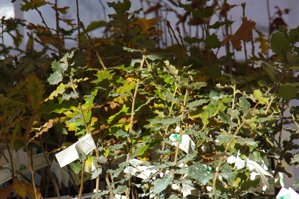 Plants truffiers