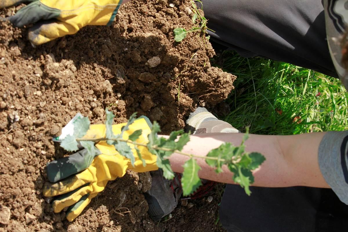 Plantation d'un jeune chêne truffier