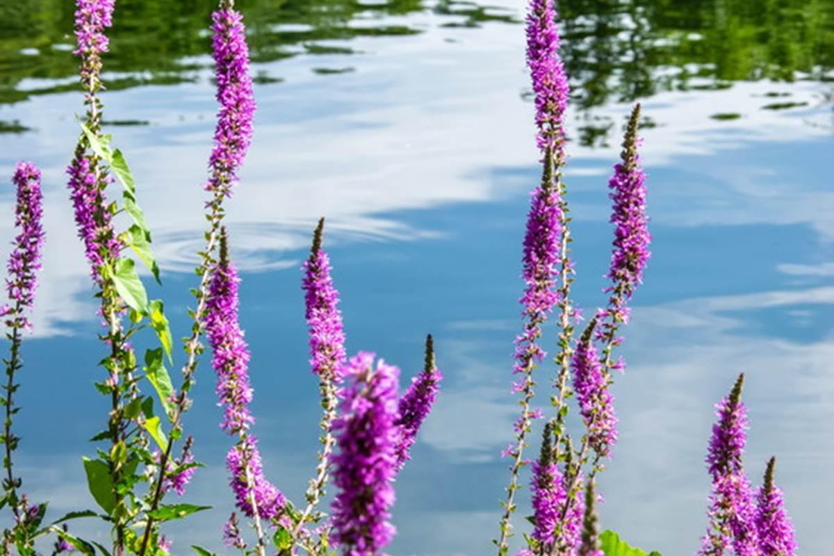 Rives fleuries du Lot à Cajarc