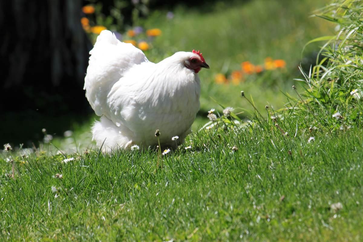Ambiance galina  avec blanche et madeleine nos petites poules d'ornement