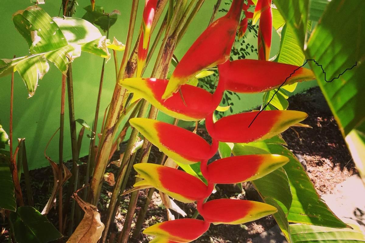 Héliconia du jardin