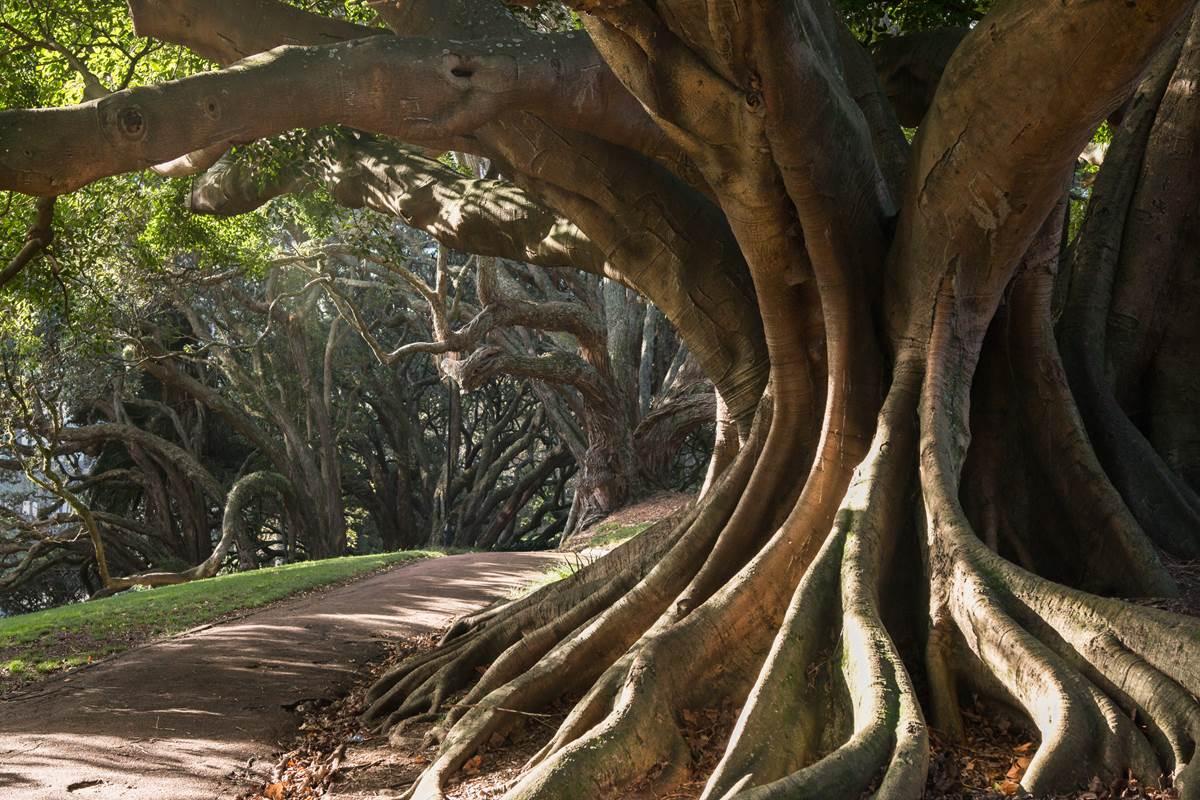 Vue sur les arbres millénaires