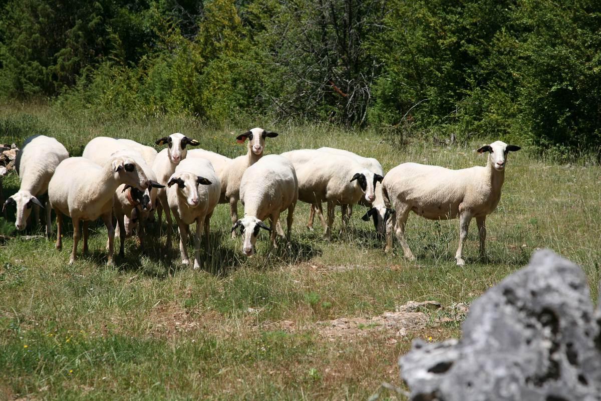 Moutons à lunettes - Lot