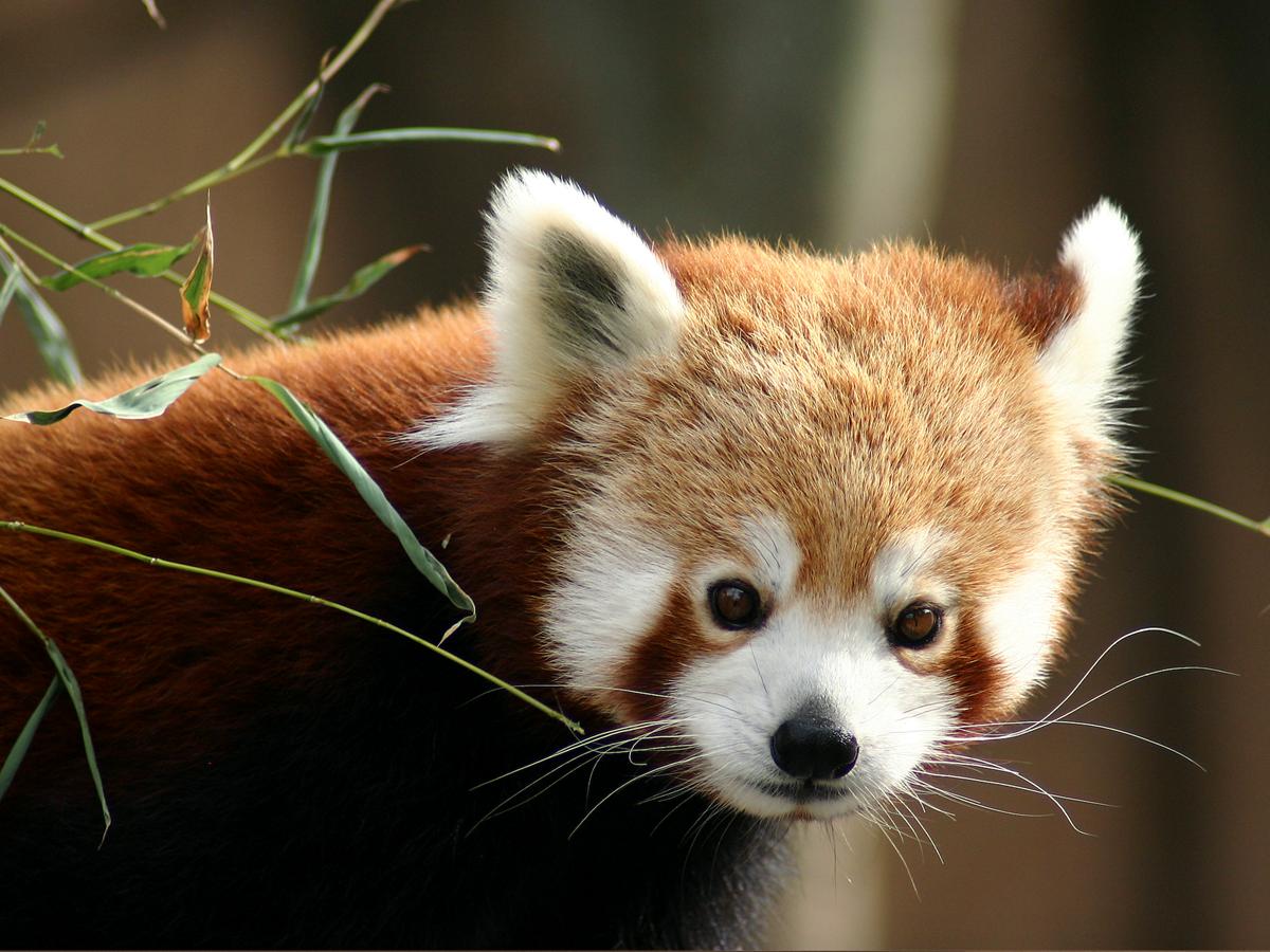 Parc Animalier d'Auvergne - Panda roux