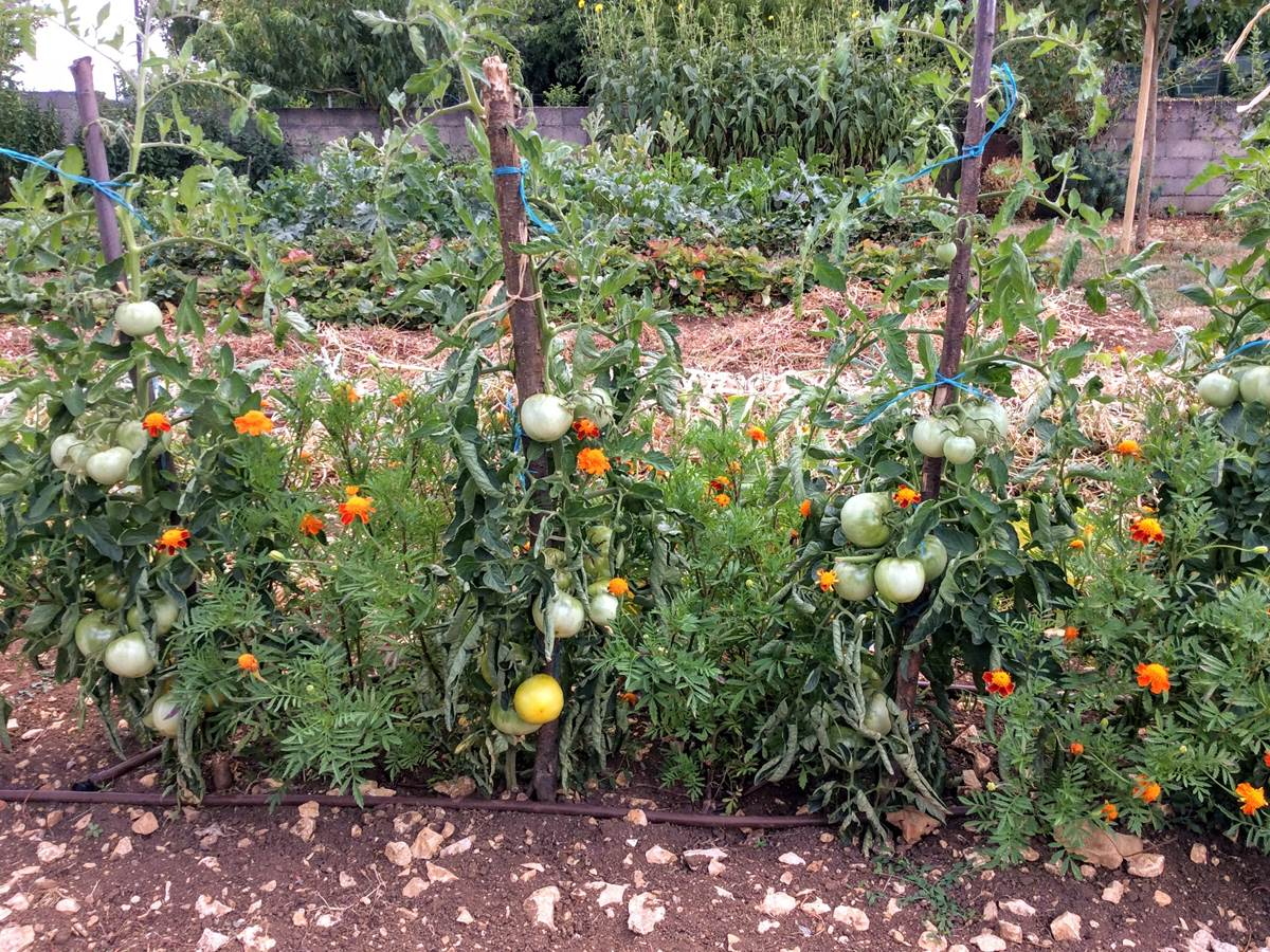 Tomates de jardin